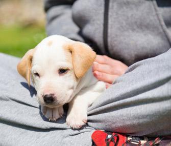 puppy-in-lap-thinkstockphotos-473456452